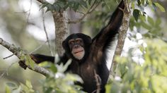 In this August 2014 photo, a chimp sits in a tree at Chimp Haven sanctuary in Keithville, La.