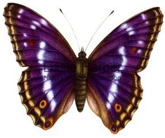 The Purple Emperor (Apatura iris) is a Eurasian butterfly of the Nymphalidae family.