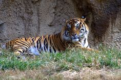 Sitting Tiger by Kenneth  Martin on 500px