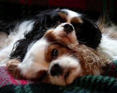 Cavalier King Charles Spaniels. ...sweetest dogs.