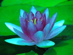 Love this blue lotus for one of my first tattoos--location TBD (right wrist, I think)