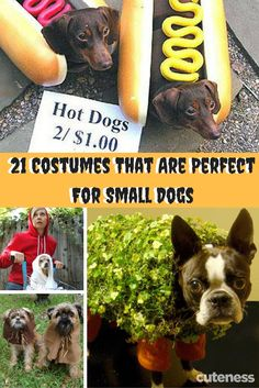 Your dog isn't small, he or she is fun-sized! So why not try one of these costumes perfect for small dogs? Cutest Pets, Cutest Animals, Halloween Cans, Halloween Costumes, I Love Dogs, Cute Dogs, Cute Dog Pictures, Dachshund Dog, New Puppy