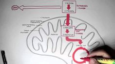 Human Metabolism Map - Cellular Respiration (Glycolysis and The Krebs Cy...