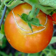 problems with growing tomatoes explained - Denise - our blossom end rot explained.   Could be calcium issue, too.