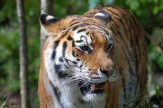tiger free screensaver wallpapers