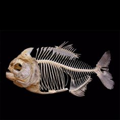 Piranha - reference for skeleton of a life  form assignment.