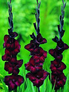Gladiolus Flower Bulbs ★ Black Star ★Rare Perennial★ Easy to Grow★6 Fresh Bulbs