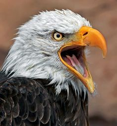 Eagles are truly a great representation of America.Bald Eagles are truly a great representation of America. Eagle Images, Eagle Pictures, Exotic Birds, Colorful Birds, Beautiful Birds, Animals Beautiful, Animals And Pets, Cute Animals, Eagle Drawing