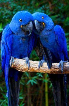 Hyacinth Macaw - from Wild for Wildlife and Nature Pretty Birds, Beautiful Birds, Animals Beautiful, Beautiful Babies, Exotic Birds, Colorful Birds, Tropical Birds, All Birds, Love Birds