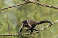 A brown capuchin monkey stands on a rope while eating an Easter egg at the Zagreb Zoo in Croatia on April 8.