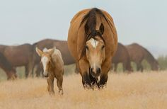Wild Mustangs: Wonderful Looking Buckskin Mare Strolling With Her Lovely Palomino Foal.
