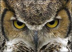 Google Image Result for http://www.examiner.com/images/blog/wysiwyg/image/prints_owls_great_horned_owl_face.jpg
