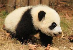 Cute And Amazing Baby Panda Photography - http://photographyinspired.com/cute-amazing-baby-panda-photography.php http://photographyinspired.com/wp-content/uploads/2014/08/file-61.jpeg