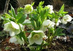 Hellebores and a bee coming in for refueling-Fairegarden