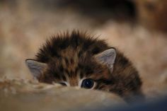 Cleveland Metroparks Zoo's success with breeding black-footed cats continued earlier this month with the birth of two kittens to mom, Godiva, and father, Wyatt. I Love Cats, Cute Cats, Funny Cats, Animals And Pets, Baby Animals, Cute Animals, Cleveland Zoo, Black Footed Cat, Small Wild Cats