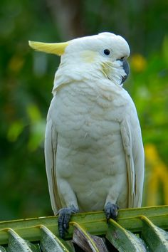 Yellow-crested Cockatoo by: yychong Cockatiel, Budgies, Pretty Birds, Beautiful Birds, Australian Parrots, Funny Birds, Conure, Cutest Thing Ever, Bird Species