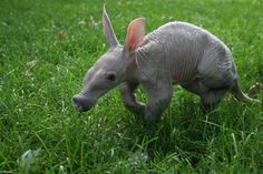 Click for more pictures of baby aardvarks. So ugly they are cute!