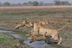 The Plains of Plenty Lion Pride, Close Proximity, The Little Prince, Cat 2, Predator, Big Cats, Lions, Wilderness, Il Piccolo Principe