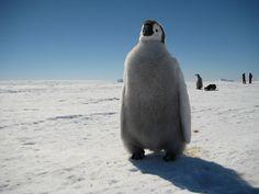 Penguin in Antarctica.