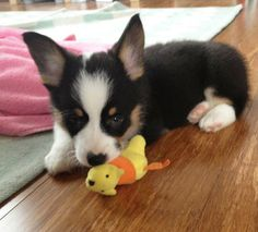 Benedict the Pembroke Welsh Corgi