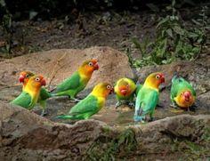 All about african lovebirds! Pretty Birds, Love Birds, Beautiful Birds, Animals Of The World, Animals And Pets, African Lovebirds, Kinds Of Birds, Creatures, Parrots
