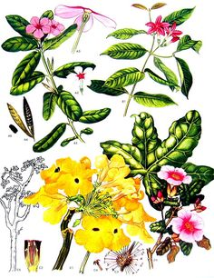 Periwinkle Mousetrap Tree  Wild Flowers Botanical Print