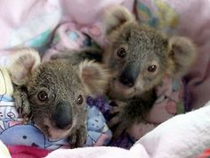 Aww baby koalas! Nat Geo bringing awareness to the plight of indigenous Aussie animals - brilliant.