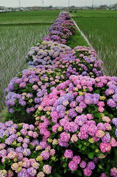 紫陽花の虹
