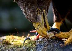 White-tailed eagle - zoltán kovács - Google+