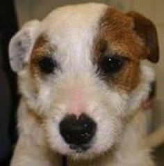 Wishbone is an adoptable Jack Russell Terrier (Parson Russell Terrier) Dog in Columbia, SC.  ...