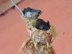 hummingbirds were born at my door. The first almost ready to leave - Pic II