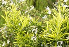 Rosmarinus officinalis cv. Joyce De Baggio, Golden Rain or Golden Rosemary