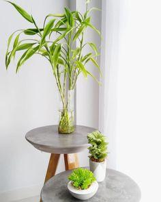 Bambu da sorte: significado, cuidados, preço e como fazer mudas – Tua Casa Bamboo Planta, Lucky Bamboo Plants, Plant Decor, Feng Shui, Indoor Plants, Architecture, Rose, Table, Inspiration