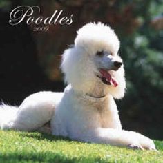 Cute poodle by continental6, via Flickr