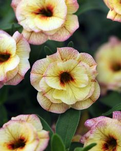 Petunia 'Calibrachoa MiniFamous Double Rose Chai' double | Log House Plants