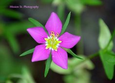 The wildflowers of Glen Rose
