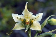 Gavilea australis
