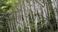 Propagating River Birches