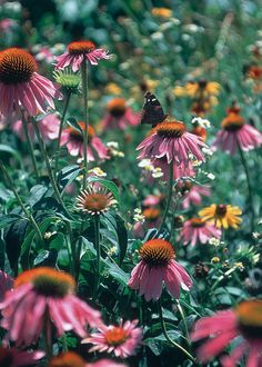 Purple Coneflower (Echinacea purpurea) with butterfly.