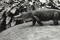 Peter Peryer, Alligator, gelatin silver print, x Photography 2017, Gelatin Silver Print, Insects, Models, Artist, Animals, Templates, Animaux, Animal
