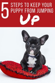 This French Bulldog has good manners. Read How to Stop A Puppy From Jumping Up to learn puppy training tips to teach your French Bulldog and other types of dogs.
