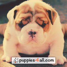 The Bulldog is a medium-sized breed of dog. Among all the breeds,the most popular ones are definitely British Bulldog and French Bulldog. Cute Bulldog Puppies, Cute Bulldogs, English Bulldog Puppies, Cute Dogs And Puppies, I Love Dogs, English Bulldogs, Baby Bulldogs, French Bulldogs, Doggies