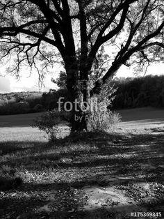 Schöner alter Baum als Schattenspender am Rande eines Feldes am Teutoburger Wald in Oerlinghausen, fotografiert in klassischem Schwarzweiss