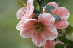 Chaenomeles 'Madame Butterfly' - photo: Istockphoto