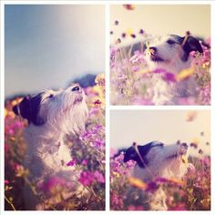 Forest Gump, the Jack Russell, smelling flowers
