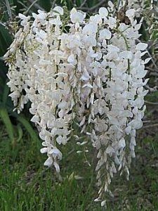 Open the door to summer with our classic, elegant Purple Wisteria Vines. Chinese Wisteria, Wisteria Tree, Purple Wisteria, Wisteria Wedding, Love Flowers, White Flowers, Beautiful Flowers, Moon Garden, Flowering Vines