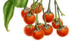 IŞIK GÜNER Botanical Art Botanical Drawings, Botanical Prints, Vegetable Drawing, Arm Sleeve Tattoos, Watercolor Fruit, Natural History, Seeds, Vegetables, Watercolors