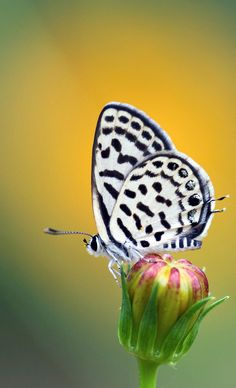 Spotted pierrot butterfly by Chainfoto.