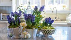 Purple hyacinths growing in pots in a kitchen