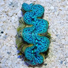 The Maxima (or 'small giant') is one of the most widely recognized species of the giant clams